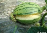 農民種植西瓜出現大面積裂瓜,是什麼原因?該怎麼防治?
