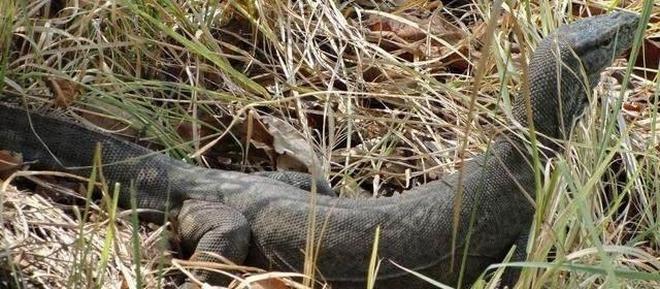 前方高能!幼年科莫多巨蜥被眼睛王蛇盯上了,結果是它被秒殺!