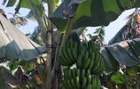 第一次見香蕉樹,原來還有香蕉花呢