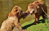 動物圖集:棕熊