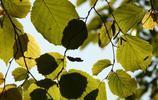 植物圖集:榛樹