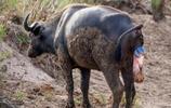 母水牛屁股懸掛沒出生的小水牛到處找泥巴地,小水牛竟一噴而出