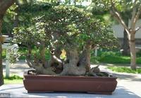"""桂花樹的盆景,只需""""幾""""剪刀就能做出來,這麼做盆景太簡單了"""