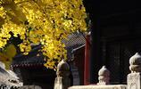 走進北京西山大覺寺,與千年銀杏不期而遇
