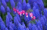 花卉圖集:風信子