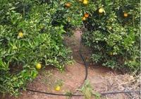 柚、柑橘園滴灌設施優點