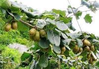 獼猴桃適合什麼地方種植 獼猴桃適宜種植的條件