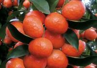 砂糖橘怎麼樣管理果實才均勻?