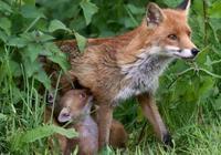 狐狸難產求助鄉下郎中,郎中助產卻殺掉小狐狸,一年後怪事頻發