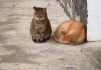 暖心狸花貓為同伴望風,但困到左搖右晃,在一旁的橘貓卻睡得安穩