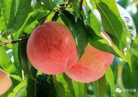 巴中這些地方的桃子熟了,等你來摘~