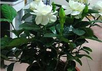 梔子花的種植方法、盆栽梔子花反季節開花方法