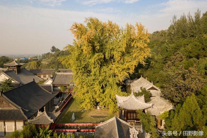 西安那棵網紅千年古銀杏樹 即將迎來最佳觀賞期