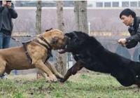 十隻戰鬥力最強的狗,第一名逆天了