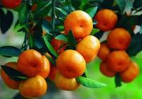 桔子、橘子、橙子、柚子有什麼區別?