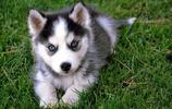 地球上10大性格最溫順的狗,金毛第一,二哈第三,你最喜歡哪個?