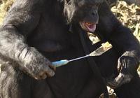為什麼說猩猩智商是最接近人的動物?看了這隻猩猩的日常就明白了