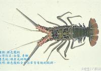 臺灣海鮮市場上龍蝦品種:雜色龍蝦、錦繡龍蝦、波紋龍蝦!