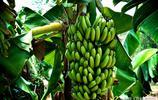 很難想象,一棵香蕉樹能結這麼多香蕉