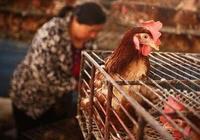 禽流感如何預防 ?