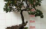 慄樹的造型不錯,感覺還是珍珠荀子更小巧好看些,瞧瞧吧!