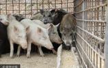 遼寧丹東:家豬與野豬交配,雜交豬基因突變不像豬,豬也很悲傷!