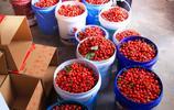 """山西一個小山村 十年前種下""""紅櫻桃""""現在成了搖錢樹 村民致富了"""