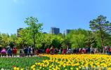 吉林長春市長春公園鬱金香盛開,吸引眾多市民來此賞花