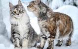 雪地裡的緬因貓們,這畫面真是太美