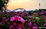 當塗薔薇成片沿姑孰河盛開,黃昏成靜美童話世界吸一口氣立馬成仙