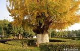 衡陽石鼓書院廣場:千年銀杏披滿黃金甲,迎來醉美觀賞季