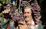 巴勒斯坦農民在葡萄園採摘葡萄