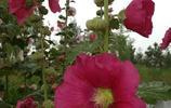蘭州安寧河灘上的花草實拍:長滿了像火腿腸一樣的植物!