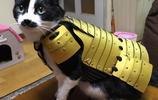 武士文化流行,這些日本人給寵物穿上鎧甲