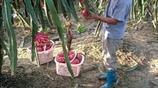 這個村家家都種火龍果,批發3塊錢一斤,有人年入百萬