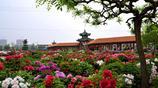 菏澤牡丹的九大色系除了紅、粉、白你還知道哪幾種?