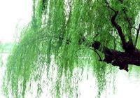 上聯:河畔垂柳迎春風,如何對下聯?