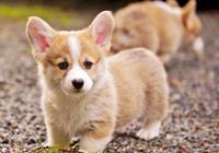 博美柴犬金毛,不同狗狗成長週期差異大,幼犬這樣喂就對了