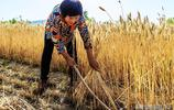 濃濃的鄉愁,你可知道現在山區農民割麥子的艱難嗎,看了就知道