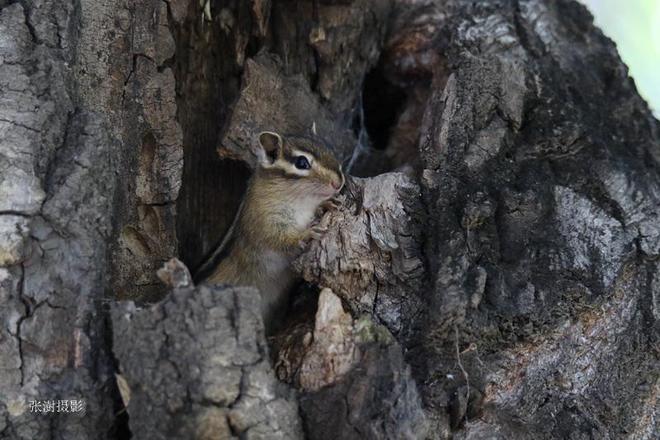 剛出生就上樹玩耍,哈爾濱4只松鼠寶寶萌翻了