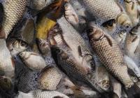 過年了,您還去野外釣魚嗎?您過年是吃買的魚還是吃自己釣的魚?
