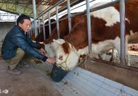 牛飼料配方,牛一天吃多少斤飼料