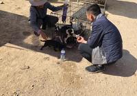"""老人狗市50元一隻出售成年土狗幼犬,為何商販只按""""2毛""""收購?"""