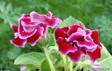 色彩豔麗的大巖桐花