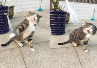 還記得被逗貓棒嚇壞的貓咪?如今再次拿出逗貓棒時它竟嫌棄無視