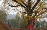 在濟南仲宮鎮北道溝村,有兩棵近千年的銀杏,有個松鼠住在樹上!