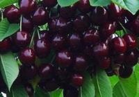 此果比水蜜桃好吃,如仙人掌好養,結果量大,一斤果子上百元
