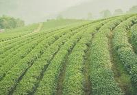 茶樹施肥量如何計算