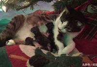 經常喂的流浪貓直接住在主人家裡,還把貓寶寶叼來給主人撫養