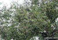 農村四季常青的一種樹,正常有上千年壽命,果實很少人收集